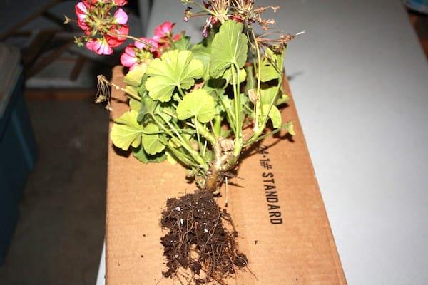 conserver les géraniums en hiver