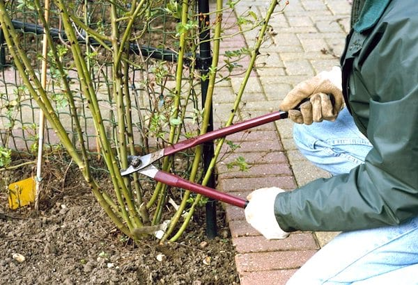 comment tailler les rosiers en hiver