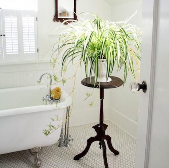 Chlorophyton chevelu sur un guéridon dans la salle de bain