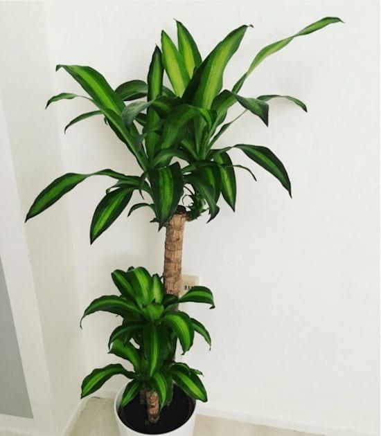 Le dragonnier parfumé ou dragonnier d'Afrique est une plante dépolluante