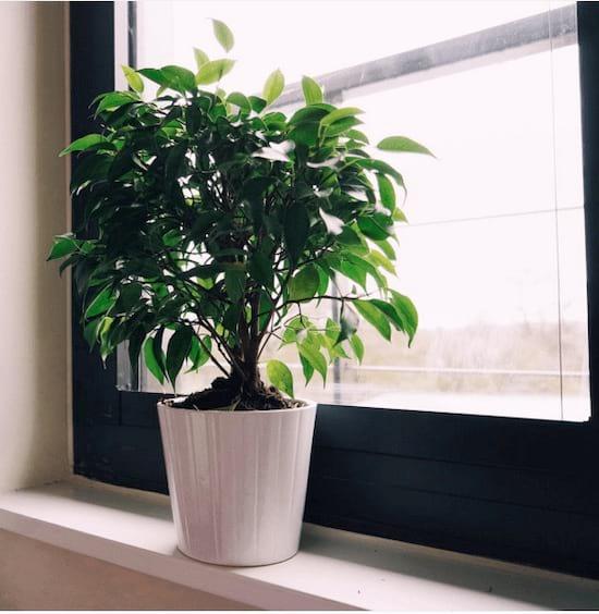 Un figuier pleureur dans un pot blanc devant une fenêtre