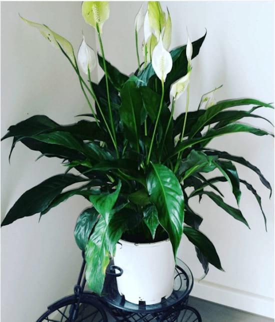 Une fleur de lune dans un pot blanc dans un appatement