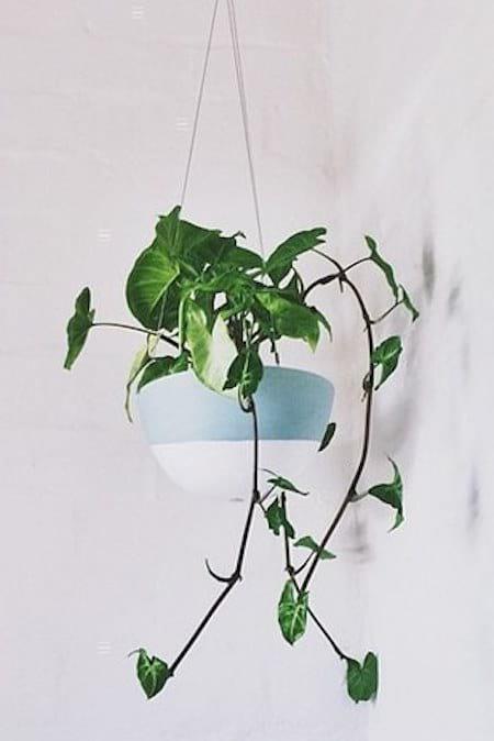 Un philodendron placé dans un pot suspendu