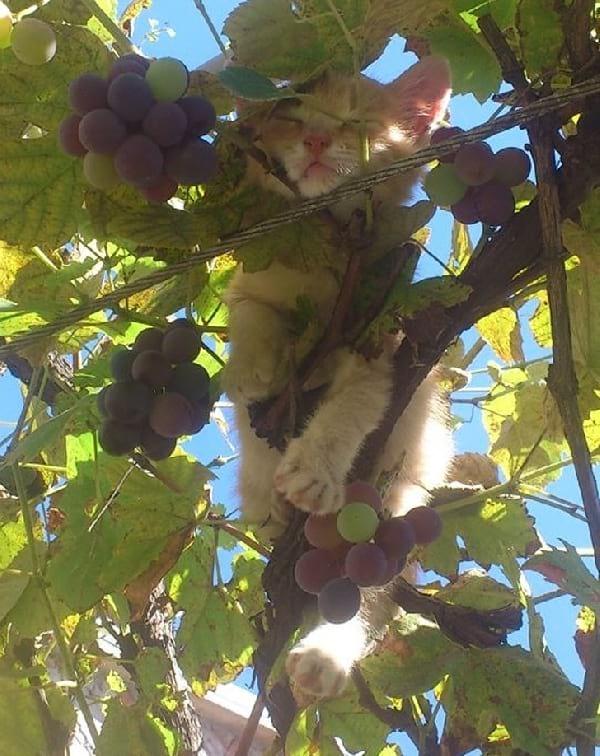 chaton-dort-dans-vigne
