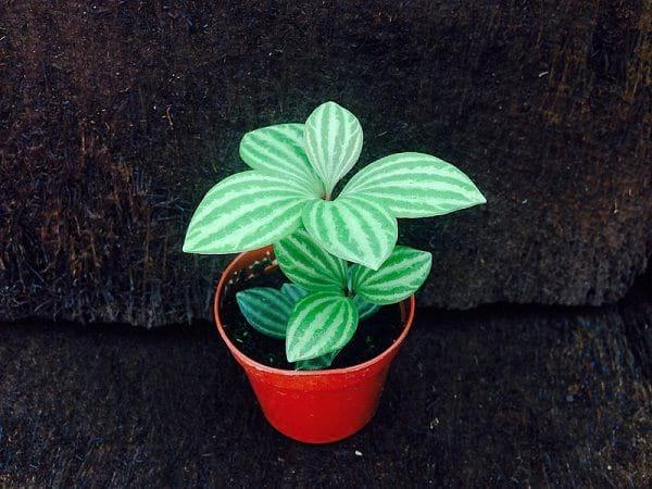 Le pépéronias est une plante qui n'aime pas la lumière directe du soleil