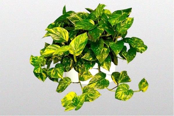 L'Epipremnum aureum est une plante d'intérieur qui ne demande que peu de lumière