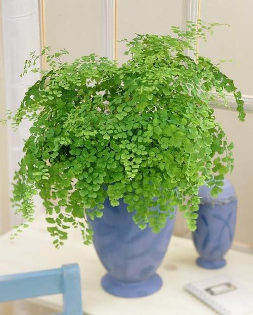 L'Adiantum fragrans est une plante de la famille des fougères qui aime l'ombre