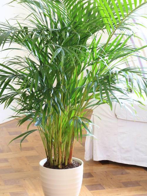 Le palmier se développe dans les pièces sombres