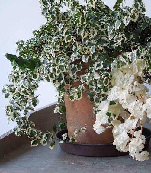 Le Fucus pumila est une plante d'intérieur résistante qui apprécie l'ombre
