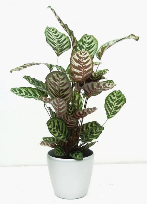 Le calathea est une plante d'intérieur qui apprécie l'ombre