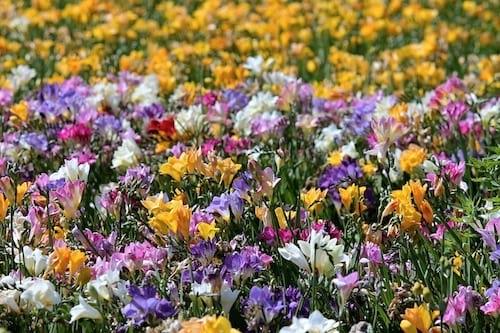 Le langage des fleurs avec le freesia