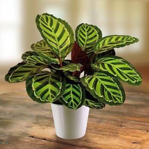 Maranta leuconeura est une plante d'intérieure qui apprécie une lumière indirecte