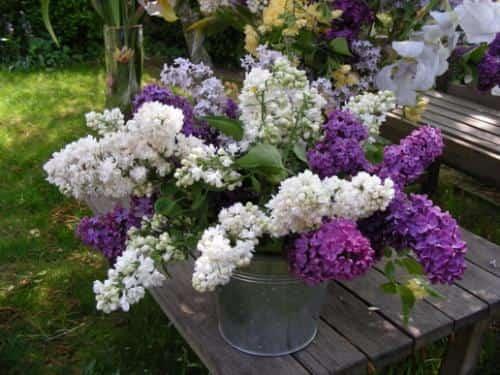 le lilas fait référence à l'amour