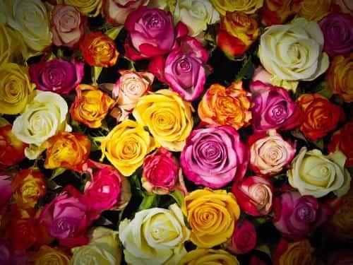selon leur couleur, les roses peuvent avoir une signification différente
