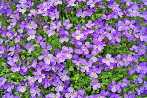 La violette symbolise l'amour caché
