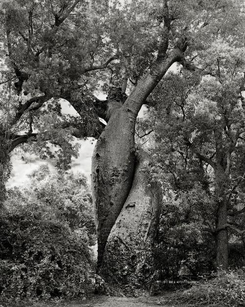 2 arbres magnifiques entrelacés avec des feuilles