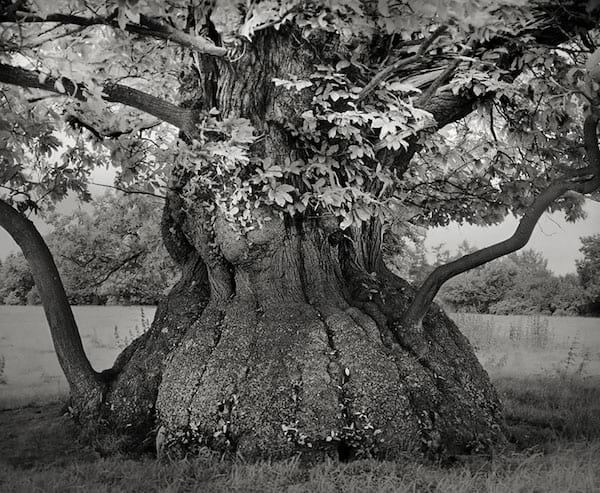 Un arbre très vieux et beau avec un tronc arrondi