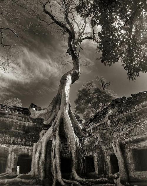 Un vieil arbre qui a poussé sur un temple il y a des centaines d'années