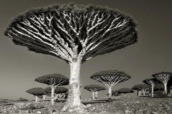 Des vieux arbres incroyables avec des branches qui montent vers le haut