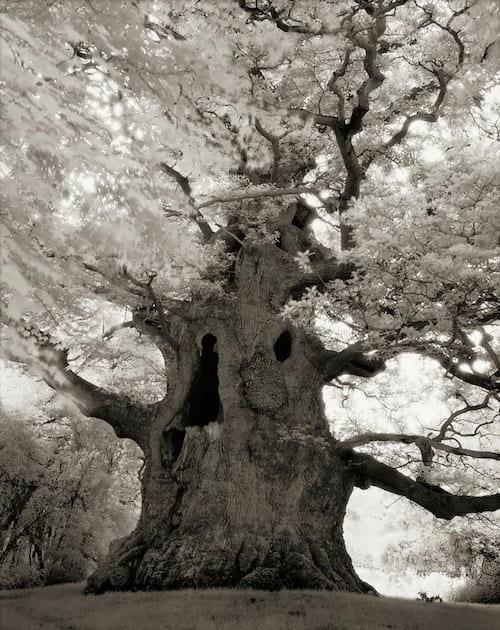 Vieil qui des centaines d'années et qui a ses branches fleuies