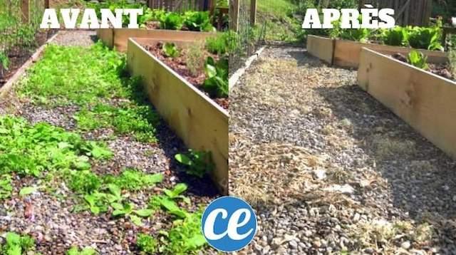 Utilisation avant et après du désherbant naturel et efficace