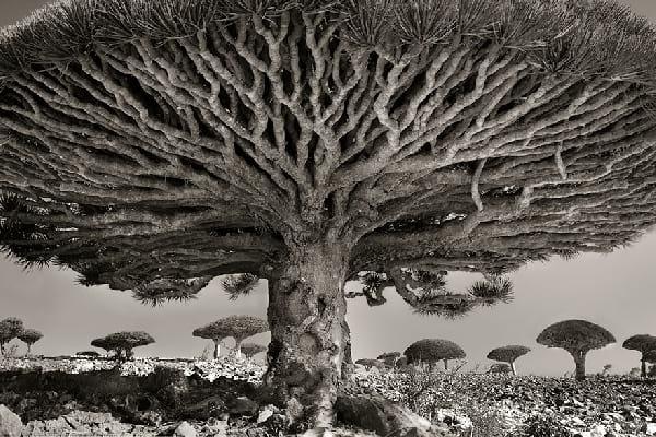 Un arbre très vieux en forme ronde avec pleins de branches