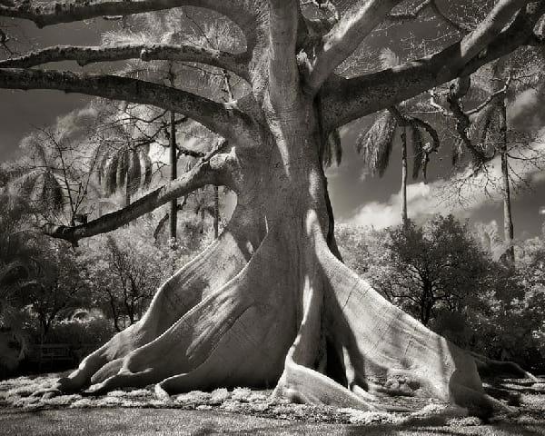 Un vieil arbre magnifique très vieux avec un tronc très large