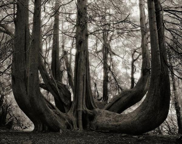 Un vieil arbre avec plein de gros troncs qui montent vers le ciel