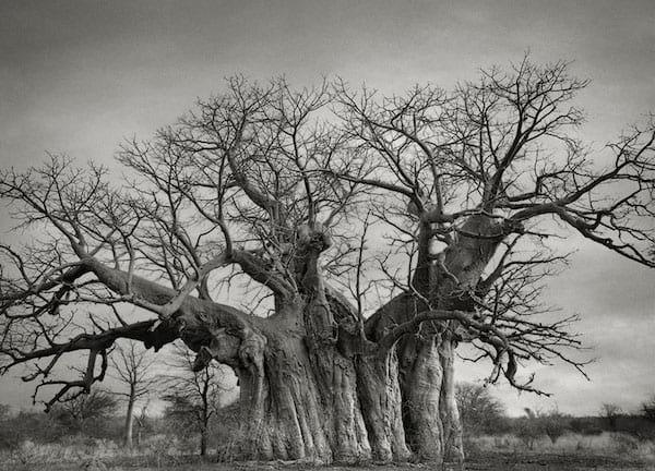 Un vieil arbre avec un tronc énorme au milieu de nulle part