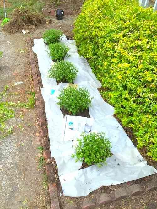 L'astuce de grand-mère pour éliminer les mauvaises herbes est d'utiliser de papier journal mouillé.