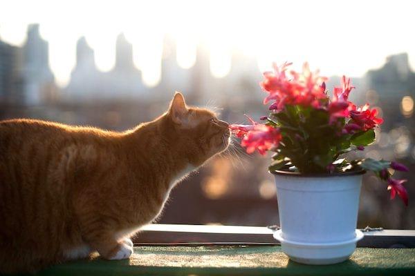éloigner les chats des plantes avec des peaux d'orange
