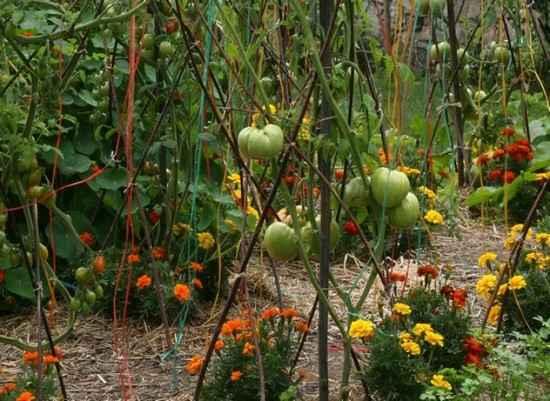 mettre des soucis sous les pieds de tomates pour éviter les maladies