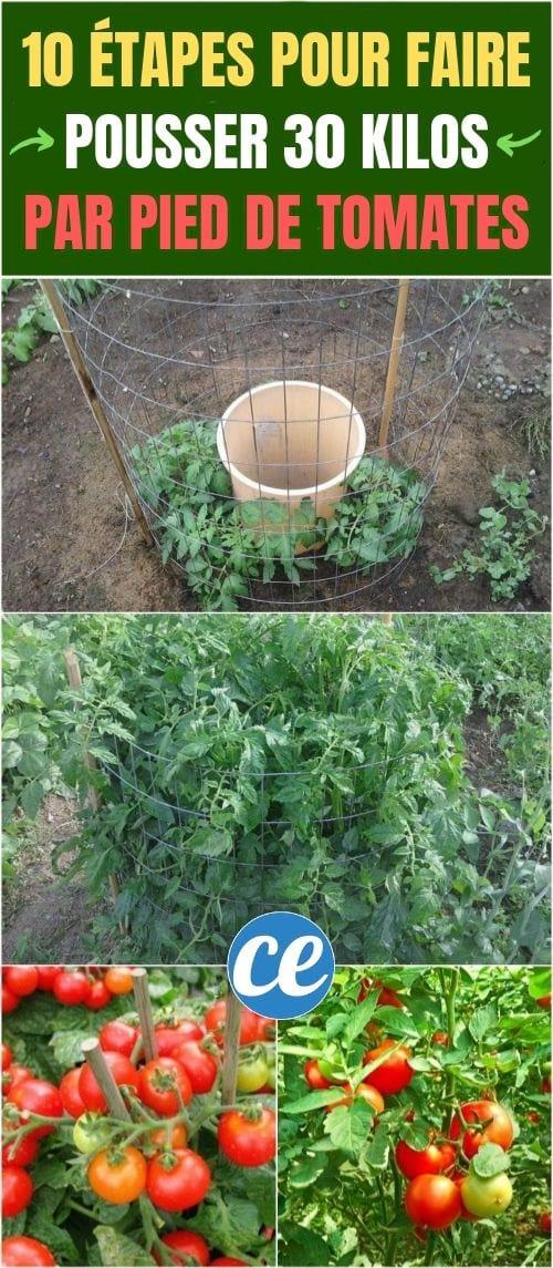 Comment faire pousser des tomates facilement ? 10 Étapes Pour Faire Pousser Entre 15 Et 30 Kilos Par Pied De Tomates.