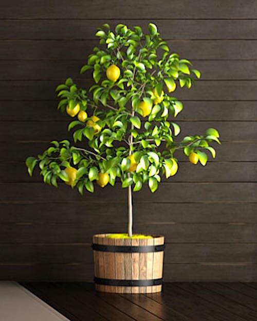 À quelle fréquence doit-on arroser les citronniers et autres agrumes ? Suivez le guide d'arrosage FACILE.