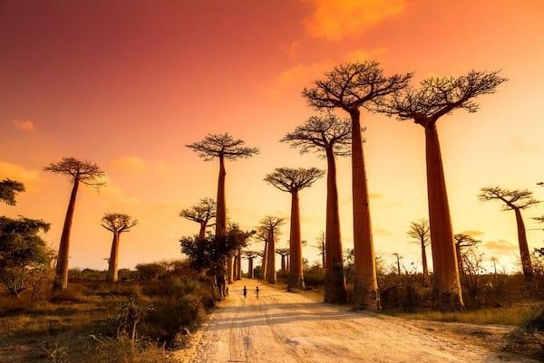 Promenade sur l'avenue des baobabs à Madagascar