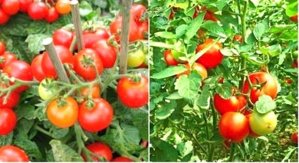 comment choisir la bonne espèce de tomate