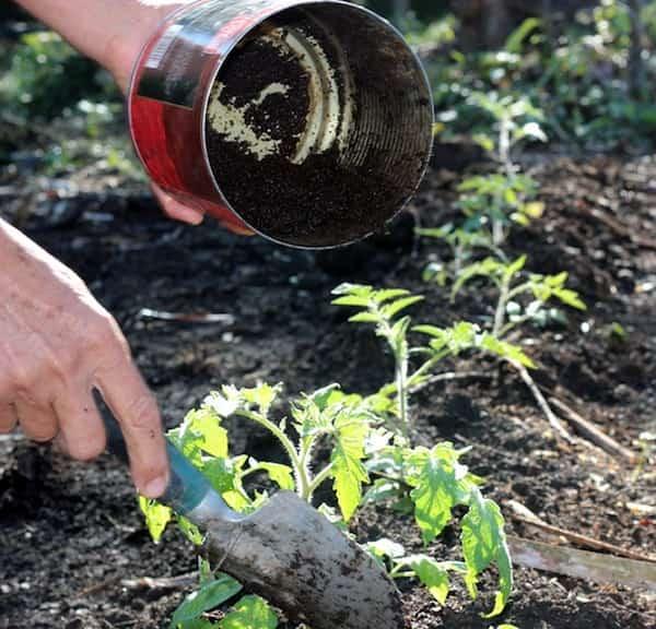 mettre de l'engrais lors de la plantation des tomates