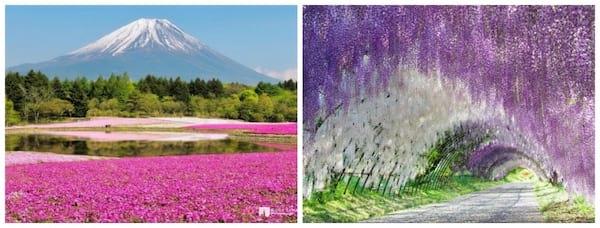 Deux images montrant le mont Fuji et le hitsujiyama pendant la saison des cerisier