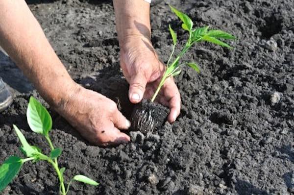 planter les tomates pour qu'elles poussent bien