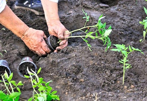 comment bien planter les tomates