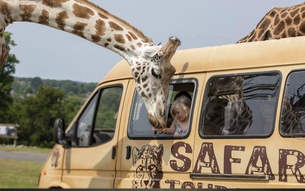 Un safari au Kenya avec des touristes qui nourrice une girafe