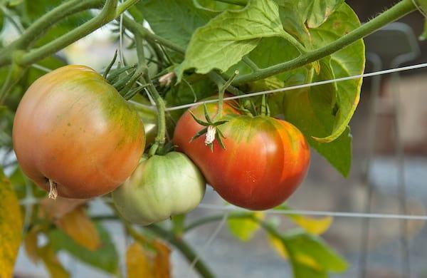 Des tomates pas encore mûres en train de pousser