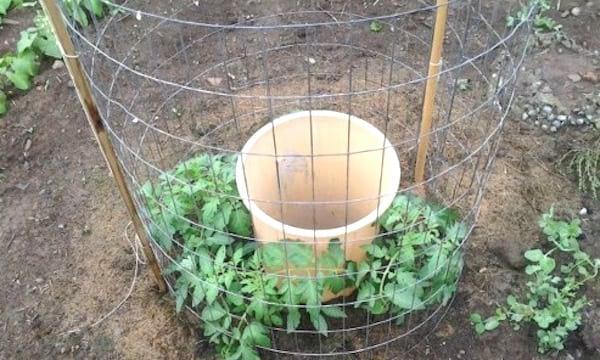 tuteur tomate en rond avec grillage