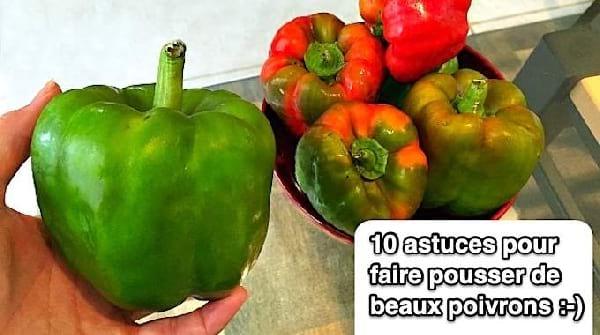 10 Astuces De Maraîcher Pour Faire Pousser De Beaux POIVRONS