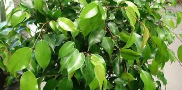Ficus est une plante qui nettoie l'air.