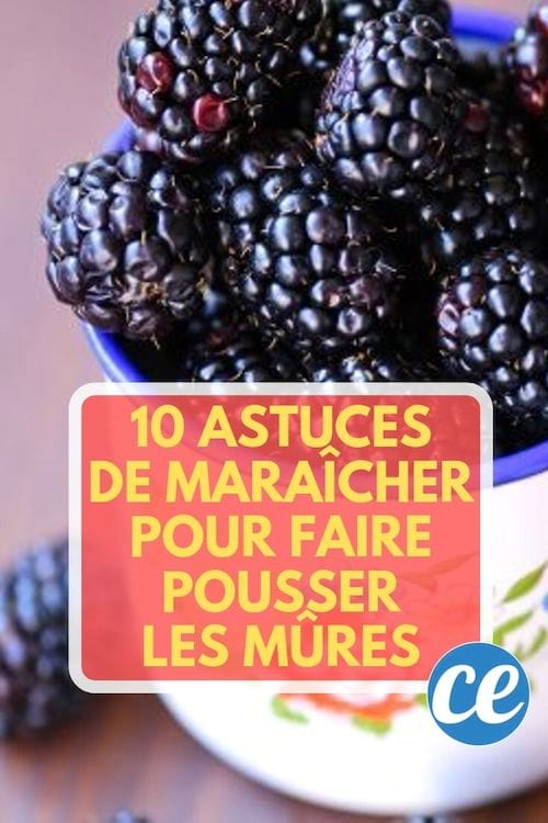 Découvrez les 10 astuces secrètes de maraîcher pour faire pousser des belles mûres.