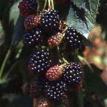 Des mûres de mûrier Thornless Evergreen faciles à faire pousser dans votre jardin.