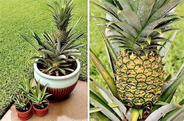 planter des ananas en pot facilement