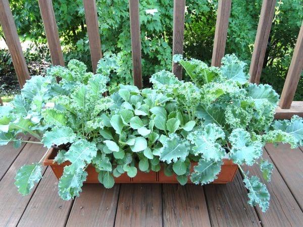 chou kale qui pousse dans une jardinière
