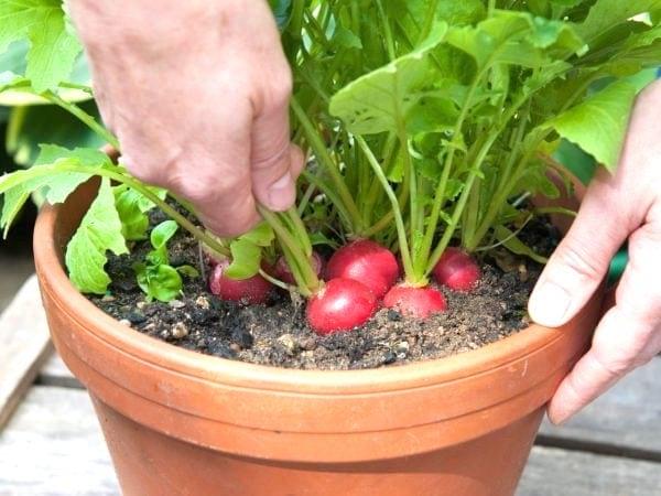radis mûrs qui poussent en pot